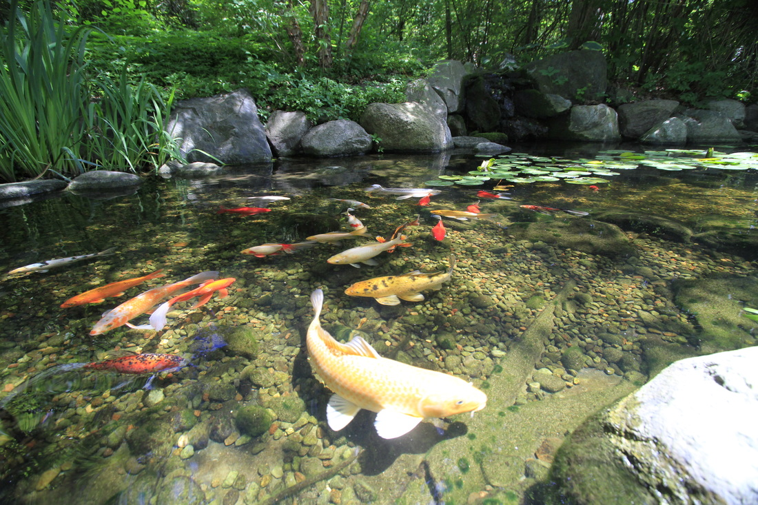Nashville fish koi pond contractor tn brentwood franklin for Fish pond maintenance